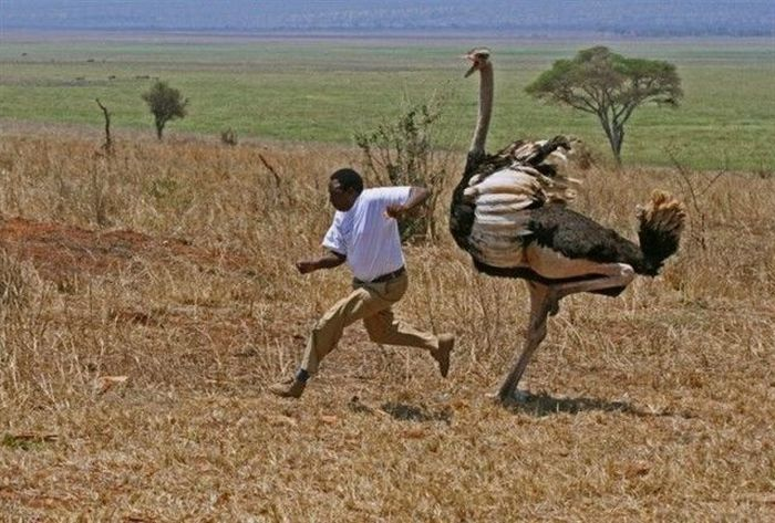 When You're Being Chased by an Ostrich